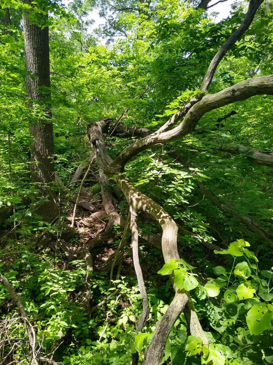 Fallen tree at Fontenelle forest