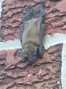 Bat, sleeping upsidedown